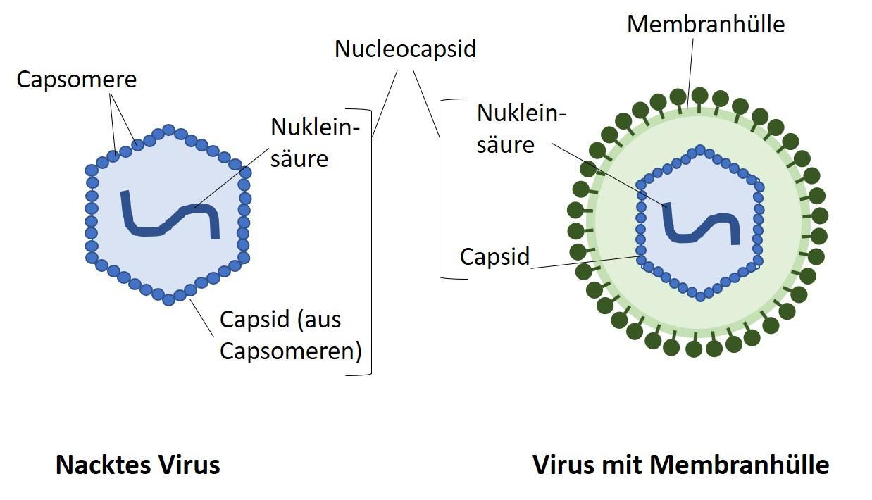 Viren Oder Bakterien Wo Ist Der Unterschied