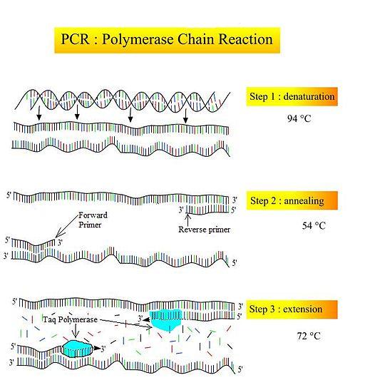 Schritte der PCR