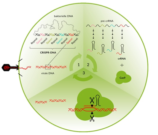 Abbildung 3: Die drei Phasen des CRISPR/Cas-Prozesses: (1) Akquisition, (2) Bearbeitung und (3) Interferenz