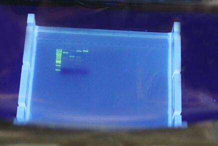 Agarosegel mit aufgetrennten DNA-Banden im UV-Licht-Transilluminator