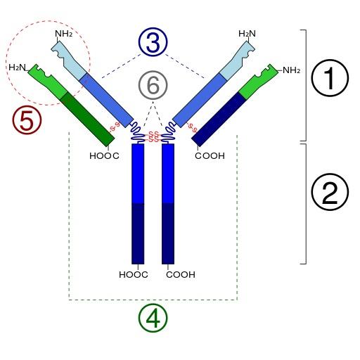 Aufbau eines typischen IgG-Antikörpers